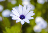 Daisy that yellow and white color — Stock Photo