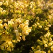 Wattle Tree Flower — Stock Photo