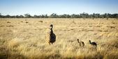 Emu kuřat — Stock fotografie
