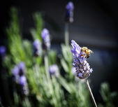 Bee on Lavender — Stock Photo