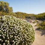 Sand Dune Plants — Stock Photo #20940577