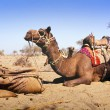 Desert Camel — Stock Photo