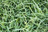 Mroźny trawa — Zdjęcie stockowe