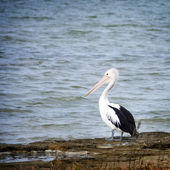 Pelican — Стоковое фото