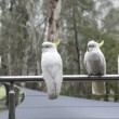Cockatoo's In Rain — Stock Video