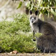 Wallaby — Stock Photo #30920587