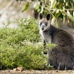 Wallaby — Stock Photo