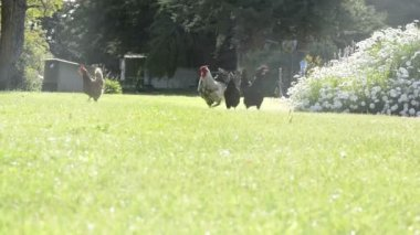 Chickens On Farm — Stock Video