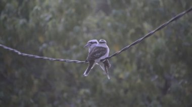 Kookaburra Birds On Wire — Stockvideo