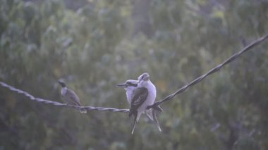 Kookaburra Birds On Wire — Wideo stockowe