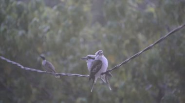 Kookaburra Birds On Wire — Vídeo de stock