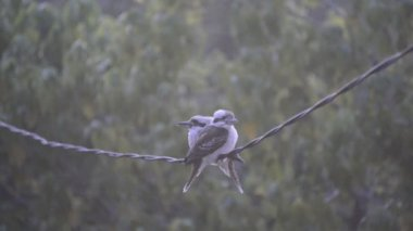 Kookaburra Birds On Wire — Vídeo Stock