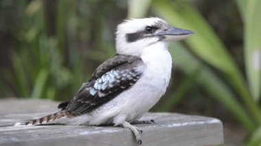 Kookaburra — Stockvideo
