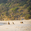 Kangaroos On Beach At Dawn — Stock Photo #37480319