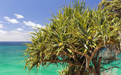 Pandanus Palm Tree — Stock Photo