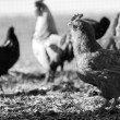 Chickens Black and White — Stock Photo