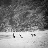 Kangaroos Black and White — Stock Photo