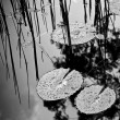 Lilly Pad Pond — Stock Photo #46631989