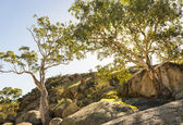 Eucalyptus — Photo