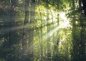 Sun rays through the forest — Foto de Stock