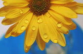 Water drops on a yellow daisy — Stock Photo