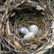 Nest with three eggs — Foto Stock