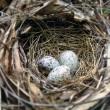 Nest with three eggs — 图库照片