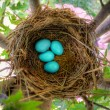 Robin Eggs — Stock Photo