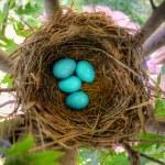 Robin Eggs — Stock Photo