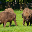 Stock Photo: Polish bisons