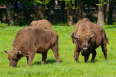 Polish bisons — Stock Photo