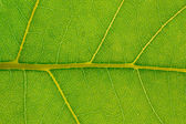 Leaf closeup background — Stock Photo