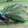 Foto Stock: Beautiful peacock
