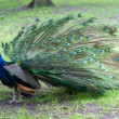 Beautiful peacock — Photo