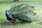 Beautiful peacock — Stock Photo