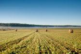 Bele pszenicy w godzinach porannych — Zdjęcie stockowe