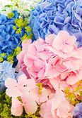 Blue and pink hydrangea — Stock Photo