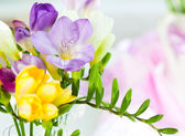 Freesia — Stock Photo