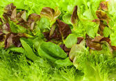 Fresh lettuces — Foto Stock