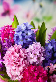 Multicolored hyacinths — Stock Photo