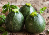 Round zucchinis — Stock Photo
