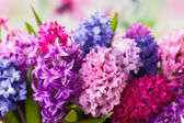 Multicolored hyacinths — Foto Stock