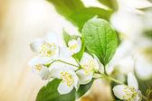 Jasmine flowers — Stock fotografie