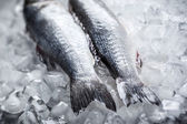 Sea bass on ice — Stock fotografie