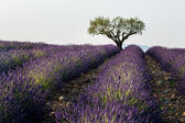 Lavender fields with tree inside of field — Stock Photo