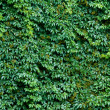 Foto Stock: Brick wall covered with green ivy leaves.