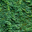Foto de Stock  : Brick wall covered with green ivy leaves.