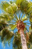 пальмовое дерево снизу, блеск лучей солнца через отделения — Стоковое фото