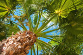 Bottom-up view of a beautiful palm tree with blue sunny sky — Stock Photo