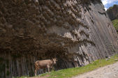 A cow in a gorge of Garni, Armenia — Stock Photo